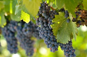 Grapes on Vine - Romantic Weekend Getaways in Texas
