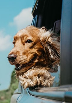 Dog riding in car with head out the window